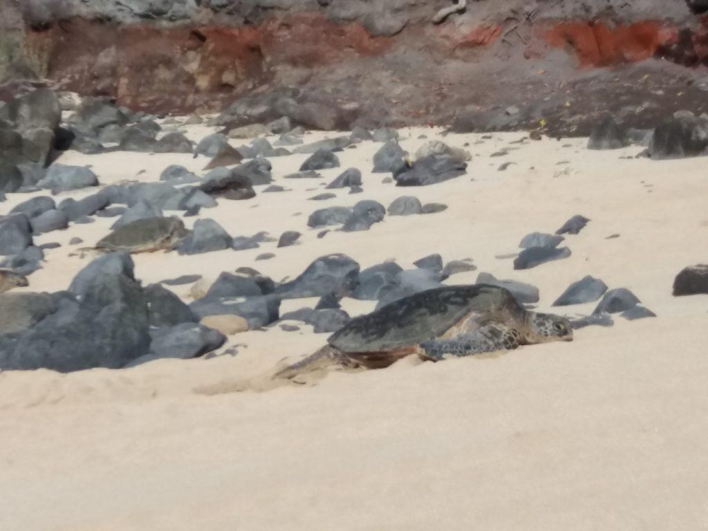The giant turtles in Hookipa beach